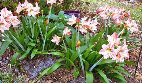 Цветут гиппеаструмы на клумбе