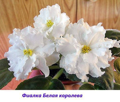 Фиалка Белая королева