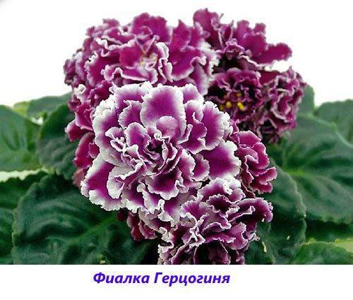 Фиалка Герцогиня