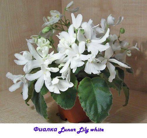 Фиалка Lunar Lily white