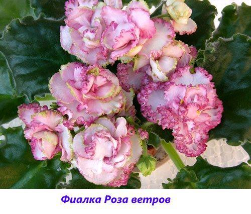 Фиалка Роза ветров
