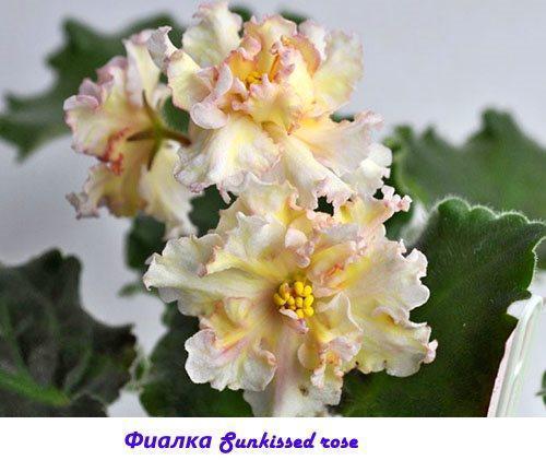 Фиалка Sunkissed rose