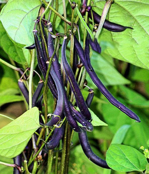 Фиолетовые стручки спаржевой фасоли
