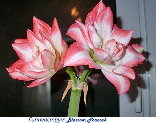 Гиппеаструм Blossom Pcacock