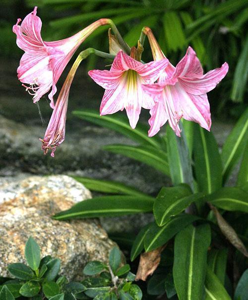 Гиппеаструм цветет на подворье