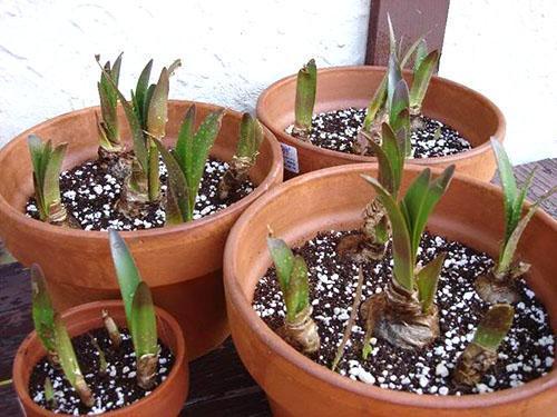 Гиппеаструм выпускает первые листья