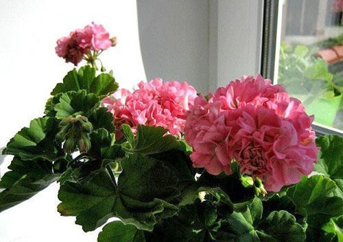 Густомахровые цветы пеларгонии Noel Gordon