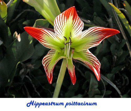 Hippeastrum psittacinum