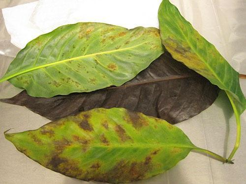Хлороз и отек листьев спатифиллума