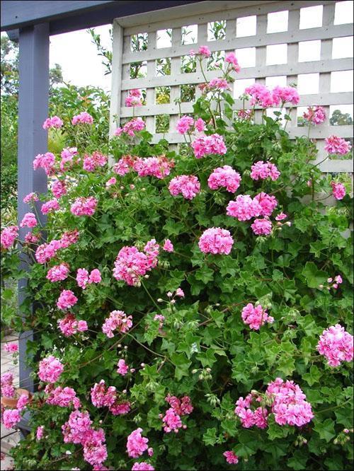 Калийные и фосфорные удобрения - гарантия пышного цветения