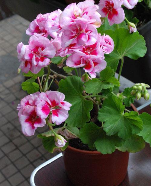Компактное растение -пеларгония PAC Viva Maria