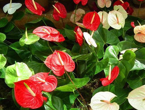 Красное соцветие антуриума