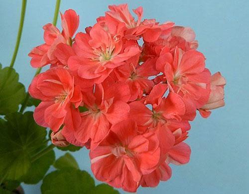Крупные соцветия пеларгонии Mimi