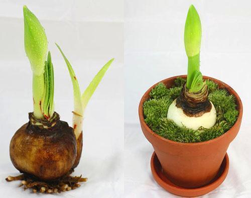 Луковица гиппеаструма и цветонос