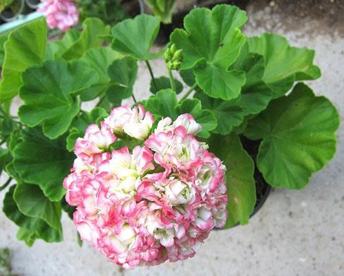 Молодая пеларгония Appleblossom Rosebud