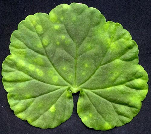 Мозаичная пятнистость на листьях пеларгонии