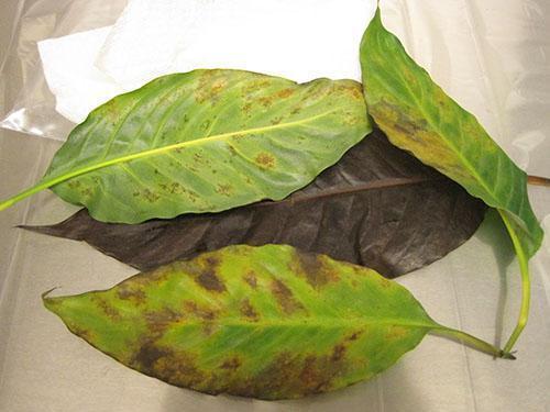 На листьях растения обнаружены вредители