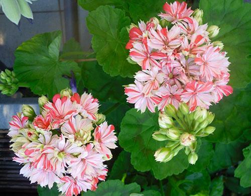 Необычная форма цветов пеларгонии Mallorca