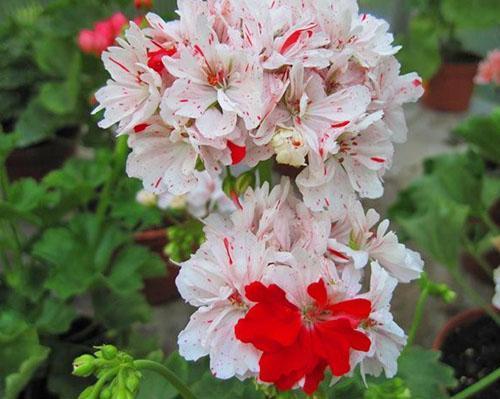 Необычные цветы пеларгонии Starstorm