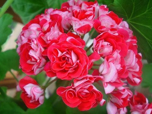 Необычный окрас цветов пеларгонии