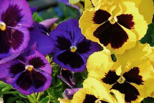 Нежный красивый цветок - трехцветная фиалка