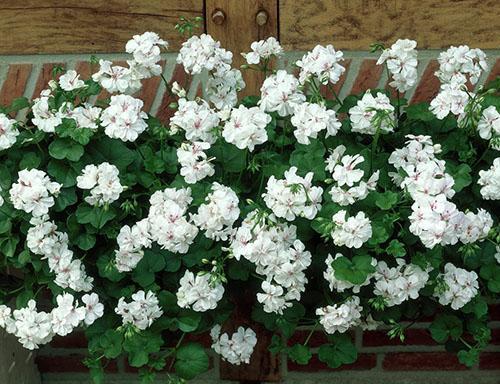 Обильное цветение ампельной пеларгонии