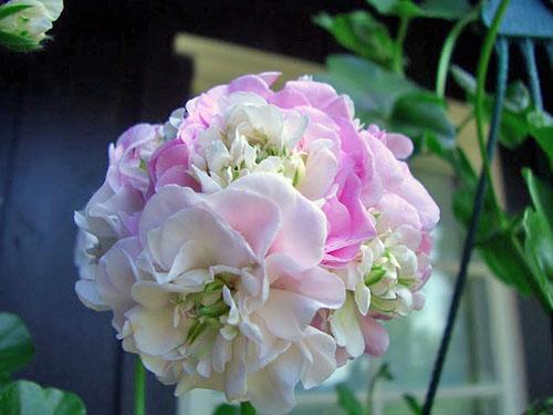 Оригинальное цветение пеларгонии PAC Viva Carolina