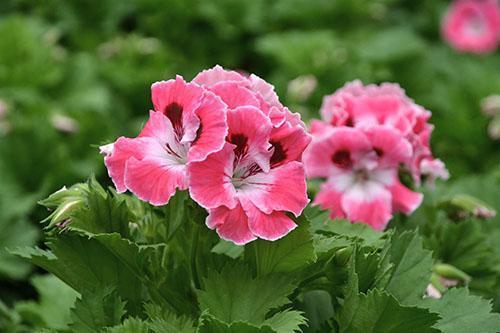 Пеларгония является неприхотливым цветком