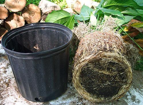 Пересадка растения в большую емкость