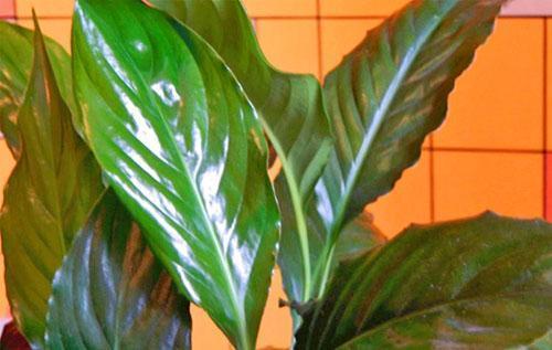 Пересаженное в другой горшок растение быстро идет в рост