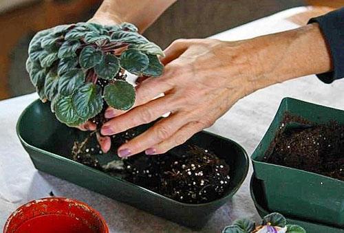 Пересаживать растение нужно после окончания цветения