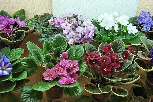 Период цветения фиалок длится до 2 месяцев