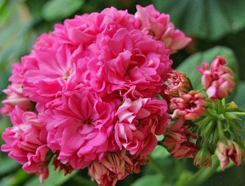 Пионовидные цветы пеларгонии Norrland