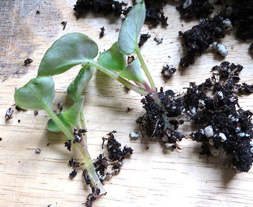 Подросшие розетки разделяют и рассаживают в отдельные горшки