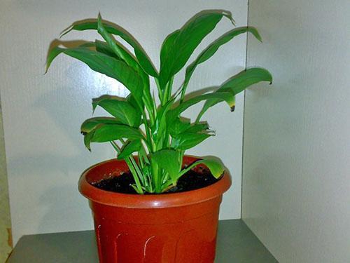 Правильно подобранный горшок - одно из условий хорошего развития растения