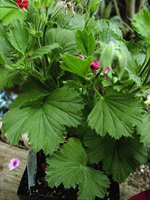 При неправильном уходе пеларгония перестает цвести или не зацветает в срок