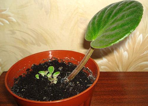 Принялся укорененный лист и развивается новый цветок