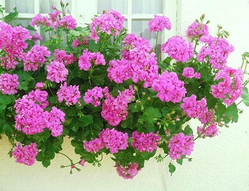 Пышное цветение обеспечивает периодическая подкормка