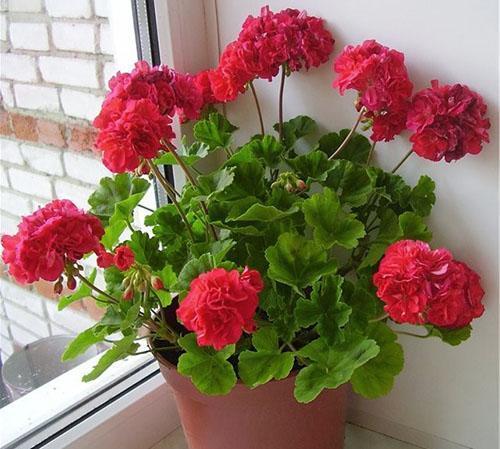 Пышное цветение пеларгонии Bold Carmine