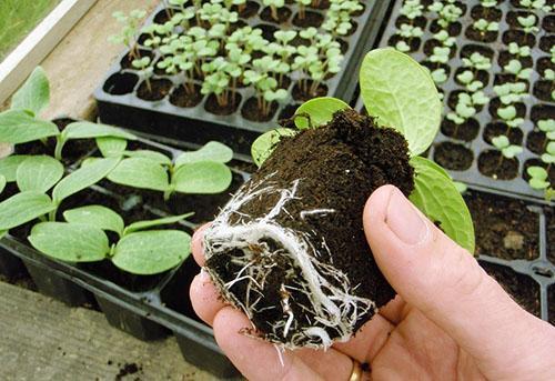 Рассада тыквы готова к высаживанию в открытый грунт