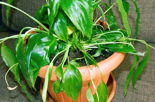 Растение нуждается в поливе