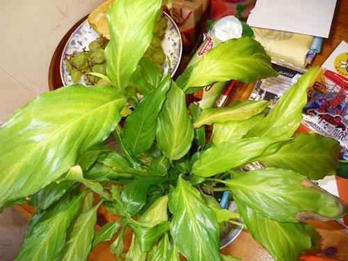 Растению срочно нужна помощь