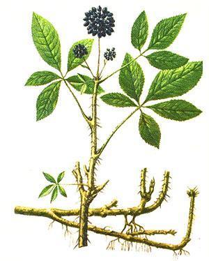Размножение куста ведется черенкованием, отводами или семенами