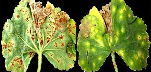 Ржавчина листьев пеларгонии