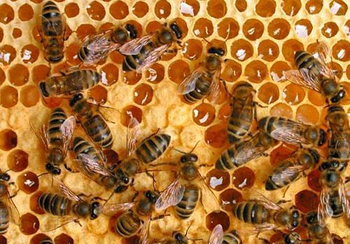 Самый полезный мед - это мед собранный пчелами