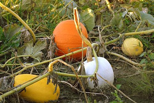 Собрать урожай тыквы нужно до наступления ночных морозов