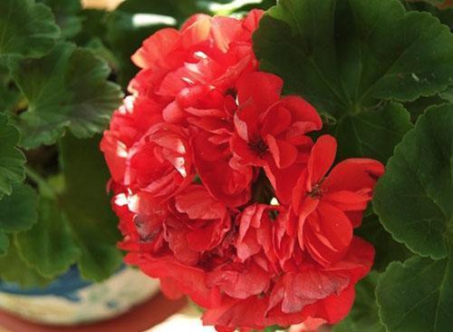 У пеларгонии Ainsdale Duke махровые красные цветы
