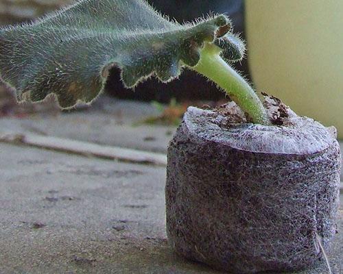 Укоренение листа в торфяной таблетке