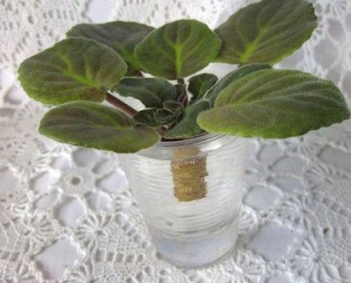 Укоренение макушки растения