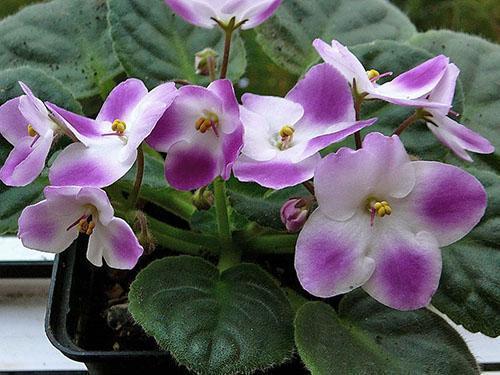 В приобретенных растениях удаляют цветоносы для снижения риска заражения трипсами